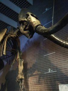 マンモスの骨格標本